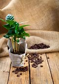 stock photo of coffee coffee plant  - coffee plant tree in paper packaging on sackcloth wooden background - JPG