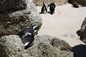 stock photo of jackass  - Jackass or African Penguins  - JPG