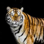 picture of sundarbans  - Closeup Tiger animal wildlife on black background - JPG
