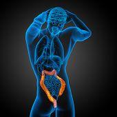 picture of intestines  - Human digestive system large intestine  - JPG