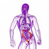 pic of intestines  - Human digestive system large intestine  - JPG