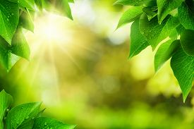picture of sunny season  - Scenic nature background of fresh lush green leaves with dewdrops framing the out of focus vegetation with bekeh highlights and the sun vibrant colors - JPG