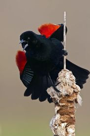pic of cattail  - Red - JPG