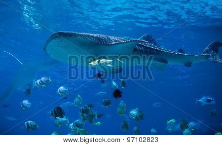 Underwater view of whale shark swimming with school of fish