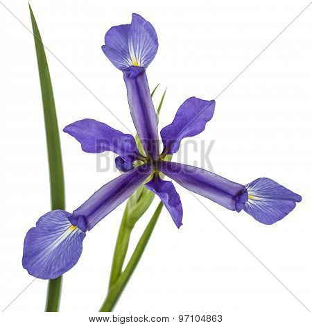 Iris Flowers, Isolated On White