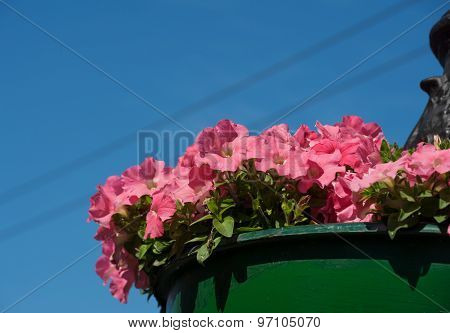 Hanging Pot With Pink Bindweed On Lamppost Against Sky