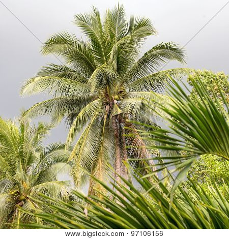 Coconut Palm Tree On A Cloudy Day, Thailand