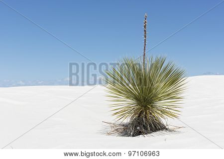 Yucca Plant At White Sands