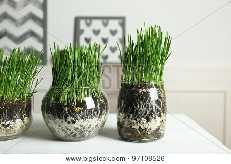 Transparent pots with fresh green grass on table