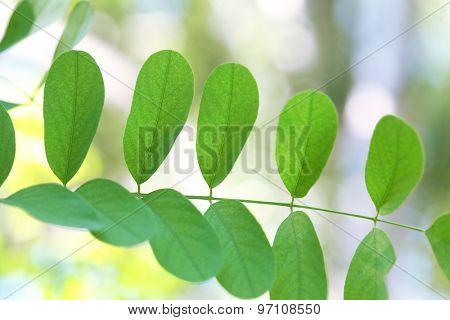 Green leaves of acacia tree branch, closeup