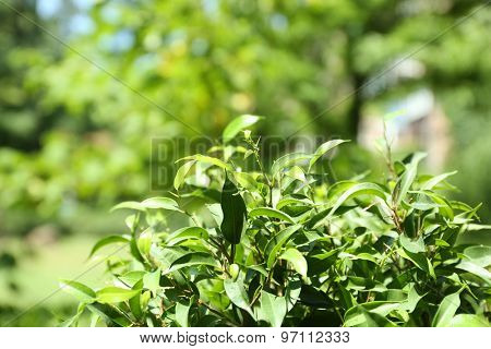 Green tea bush with fresh leaves, outdoors