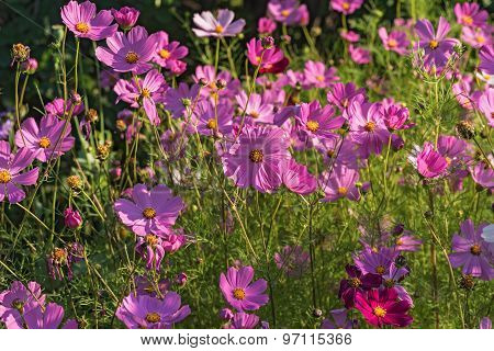 Daisy Flowers Pink Cosmos