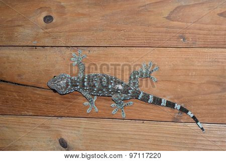 Gecko on Wooden wall room at night