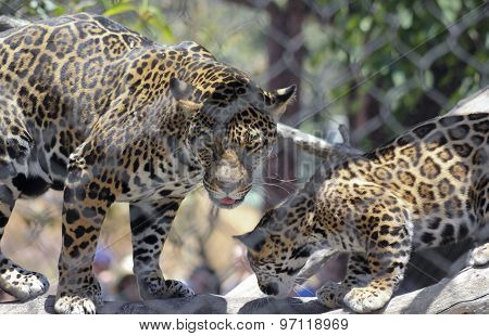 A Jaguar And Her Cub Behind Zoo Wire