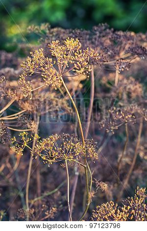 Dry Bushes Of Dill.selective Focus