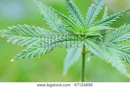 Marijuana (cannabis) Plant