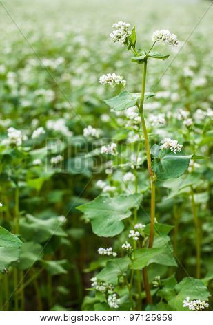 Buckwheat flower in the field.