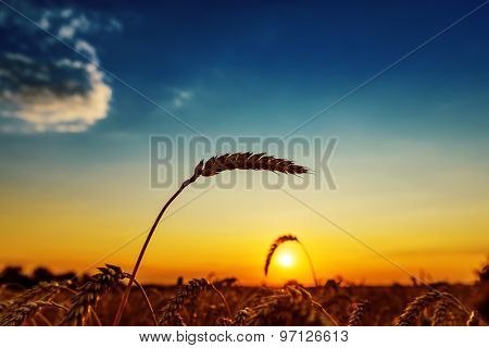 ear of wheat on field and sunset