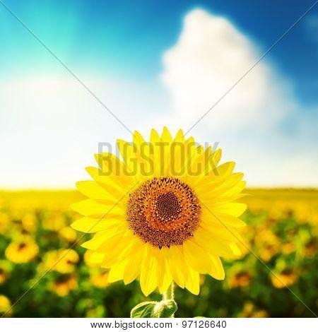sunflower over field on sunset in blue sky
