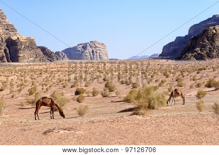 Dromedary Camels Graze In Wadi Rum Desert in Jordan