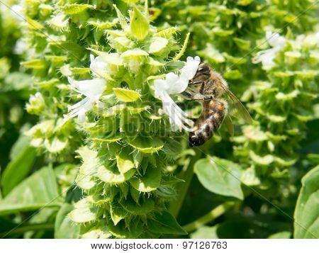 bee on a basil flower