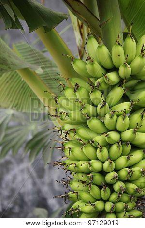 Close Up Of A Bananas Bunch