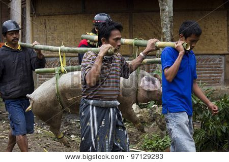 Indonesian People Carrying Tied Porks