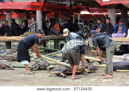 Indonesian People Picking Up Porks