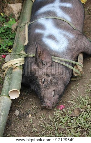 Portrait Of A Pork Tied With Bamboo Canes