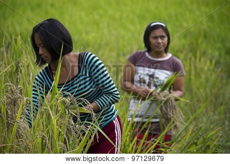 Two Farmers Manually Pick Up Rice