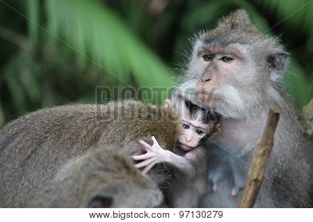 Baby Monkey With Its Mother