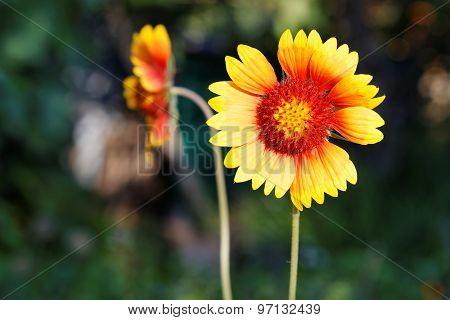Gaillardia - Yellow And Red Flower