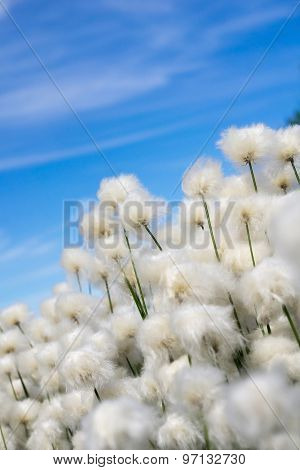 Cotton Grass On A Background Of Blue Sky