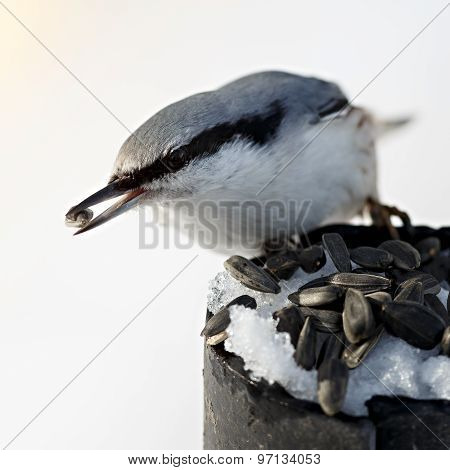 Feeding Hungry Birds In The Winter. Sitta Europaea