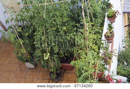 Cultivation of tomatoes on a balcony