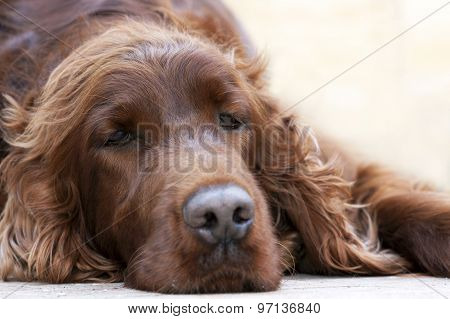 Beautiful lazy Dog