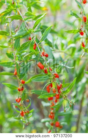 Detail of branch with goji berries