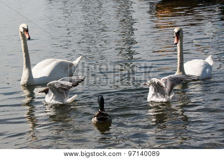 Swans, seagulls and a duck
