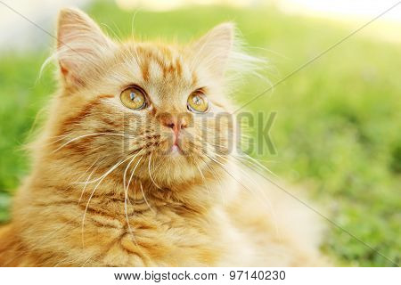 Redhead Long Hair Cat on grass, outdoors
