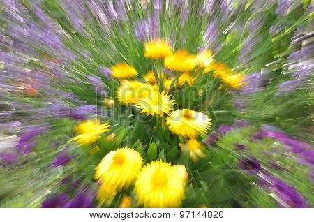 Abstract yellow strawflower