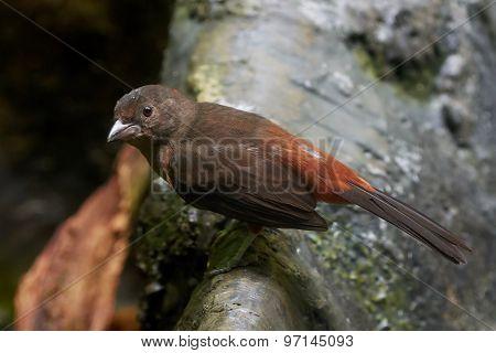 Brazilian Tanager (ramphocelus Bresilius)