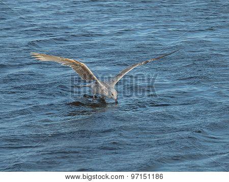 Hunting seagulls.