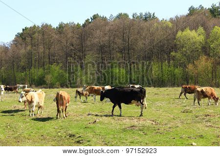 Cows On The Farm Pasture