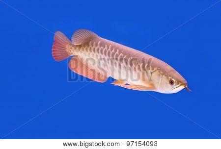 Arowana Fish (scleropages Aureus)