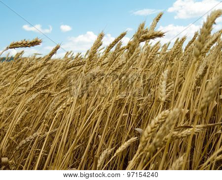 Waves Of Wheat In The Wind On Blue Sky Background