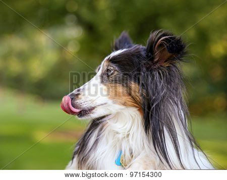 a pretty australian shepherd dog profile in the park on a warm sunny day during summer time