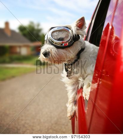 a cute westie - west highland terrier with goggles on riding in a car down an urban neighborhood road