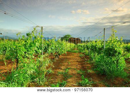 Vineyard in france on sunrise
