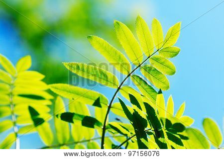 Green spring rowan leaves background