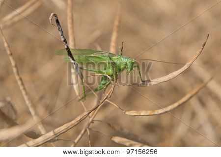 Grashopper in a colza field
